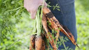hand håller i knippe morötter