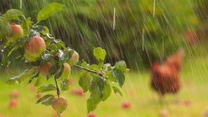 Äppelträd i regn.