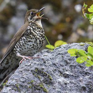 Himalayatrasten nyupptäckt fågelart.