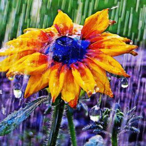 Gul blomma i regn.