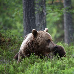 Karhu makoilee metsässä mustikanvarpujen keskellä.