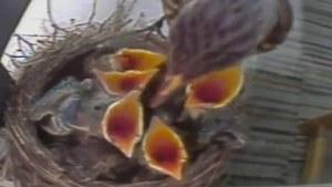 Lintu syöttää poikasiaan.