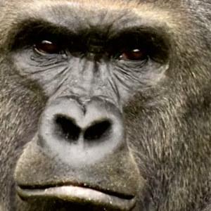 Gorillan Harambe