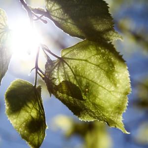 Solljus genom björklöv.