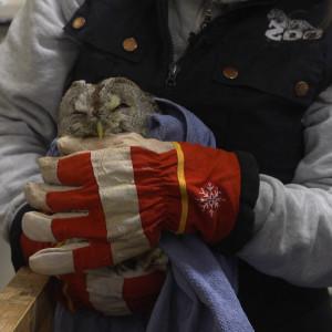 Kuvassa loukkaantunut pöllö.