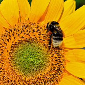 Kimalaiset ovat kiltimpiä kuin serkkunsa ampiaiset, ja pörröisempiä kuin siskonsa mehiläiset. yle tv1