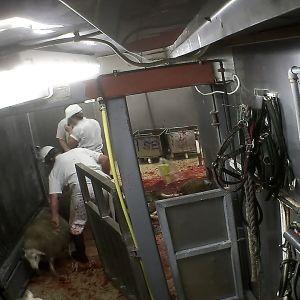 Lampaiden teurastusta 2015.