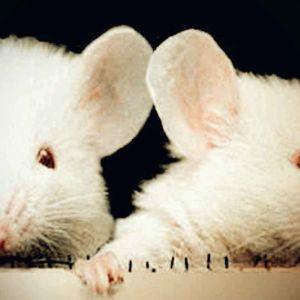 kaksi valkoista hiirtä