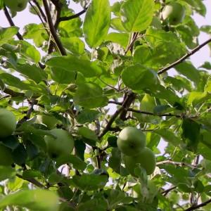 Gröna äpplen på Strömsö
