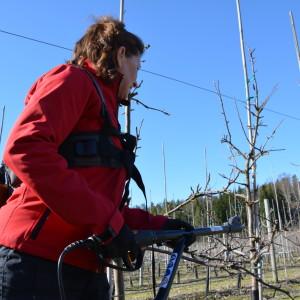 Karin Arfman beskär unga äppelträd.