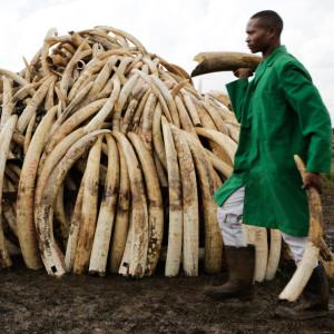elefantbetar bränns upp i kenya