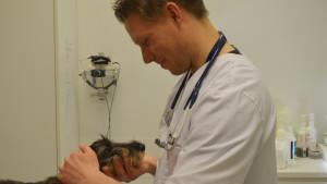 Veterinär vid Helsingfors universitets djursjukhus i Vik i Helsingfors