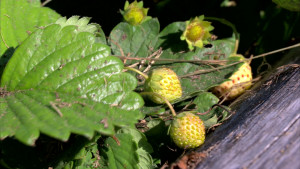 Jordgubbsplanta med omogen frukt..