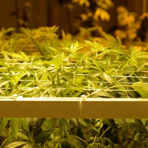 Marijuanaplantor växer i en marijuanabutik i Colorado.
