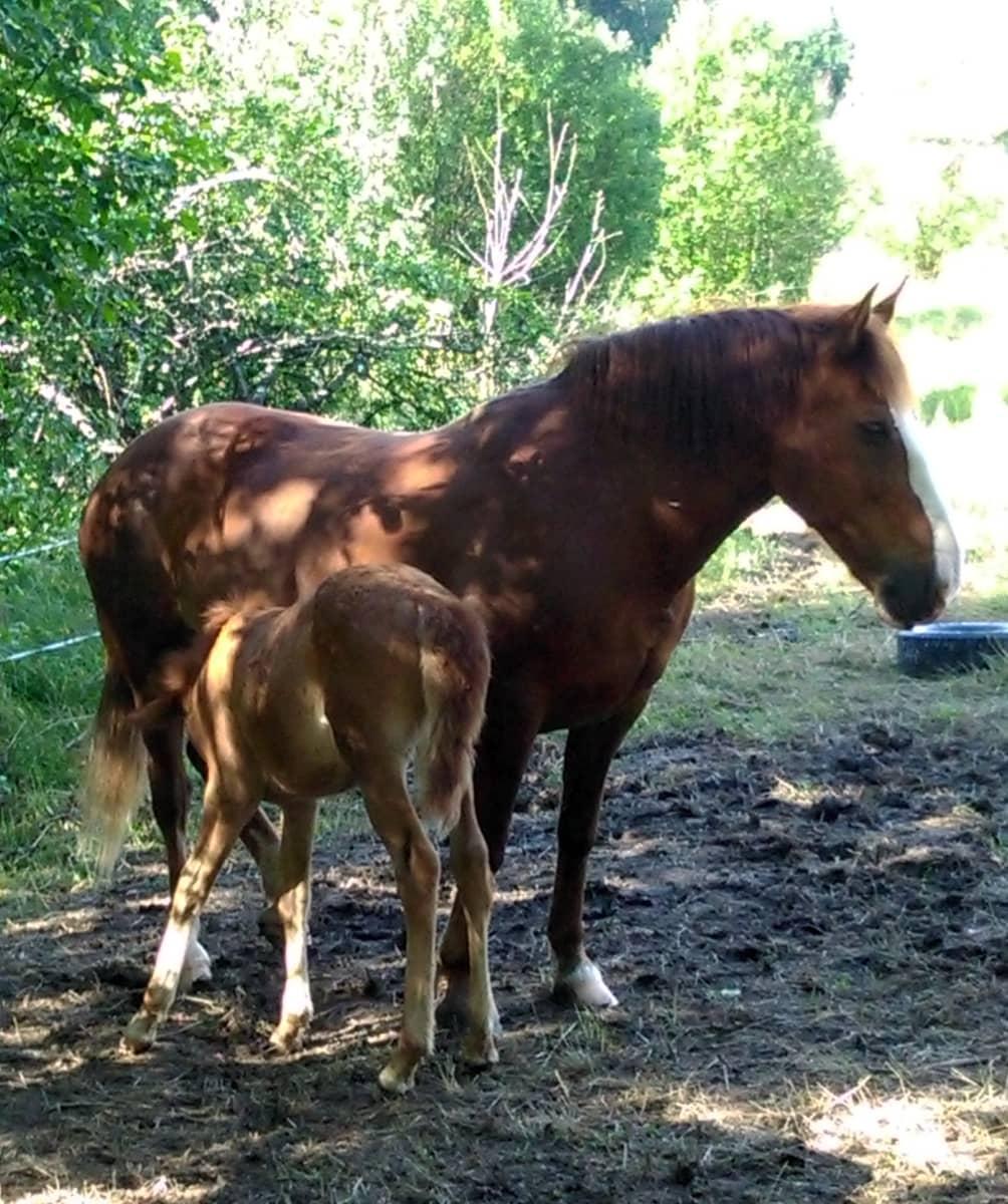 Eeva-hevonen ja Irmeli-varsa.