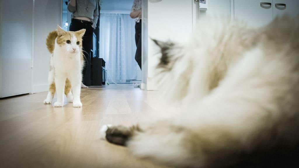 Kissa Oksentelee