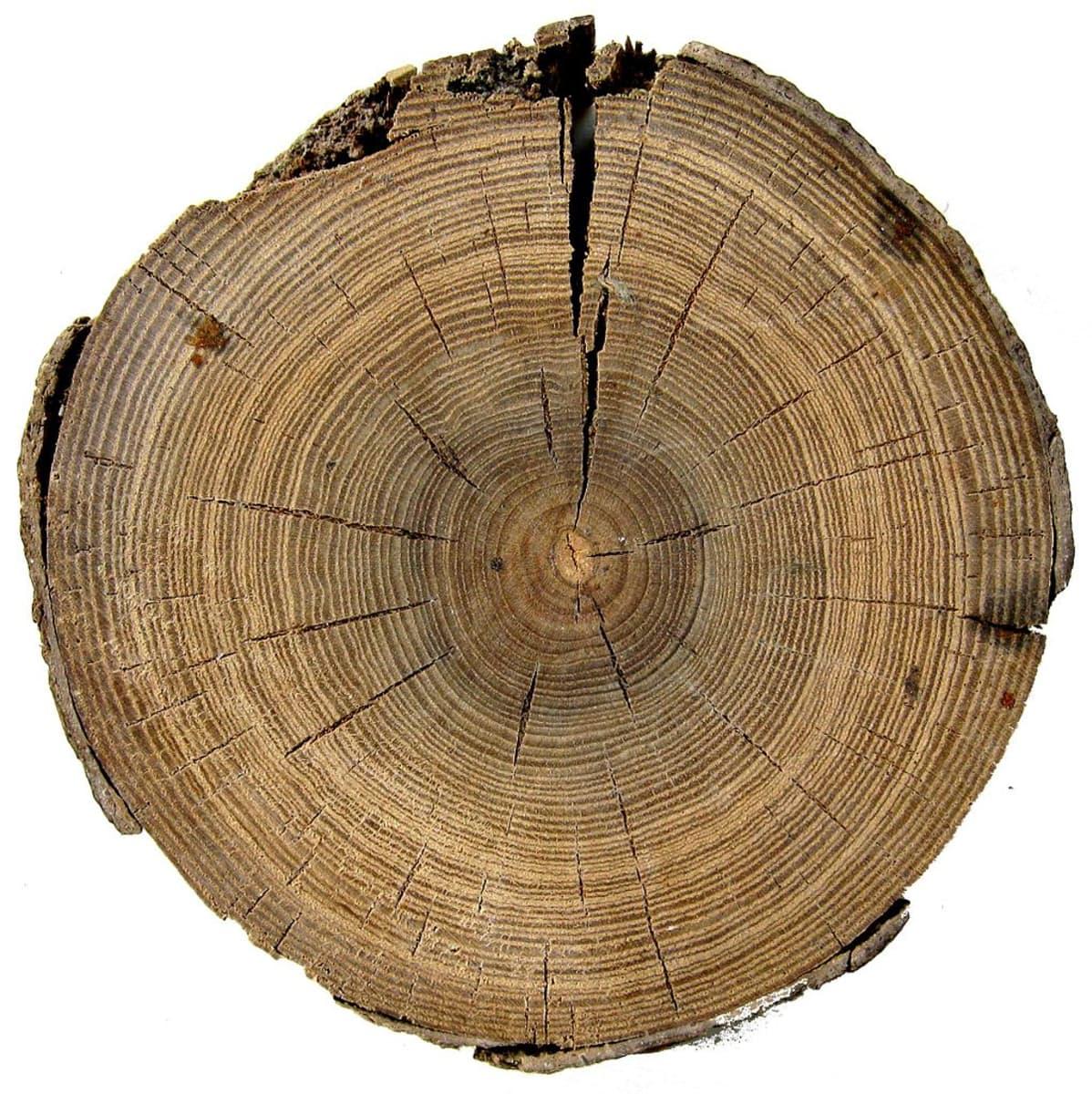 Puun poikkileikkaus, jossa lustot näkyvät selvinä.
