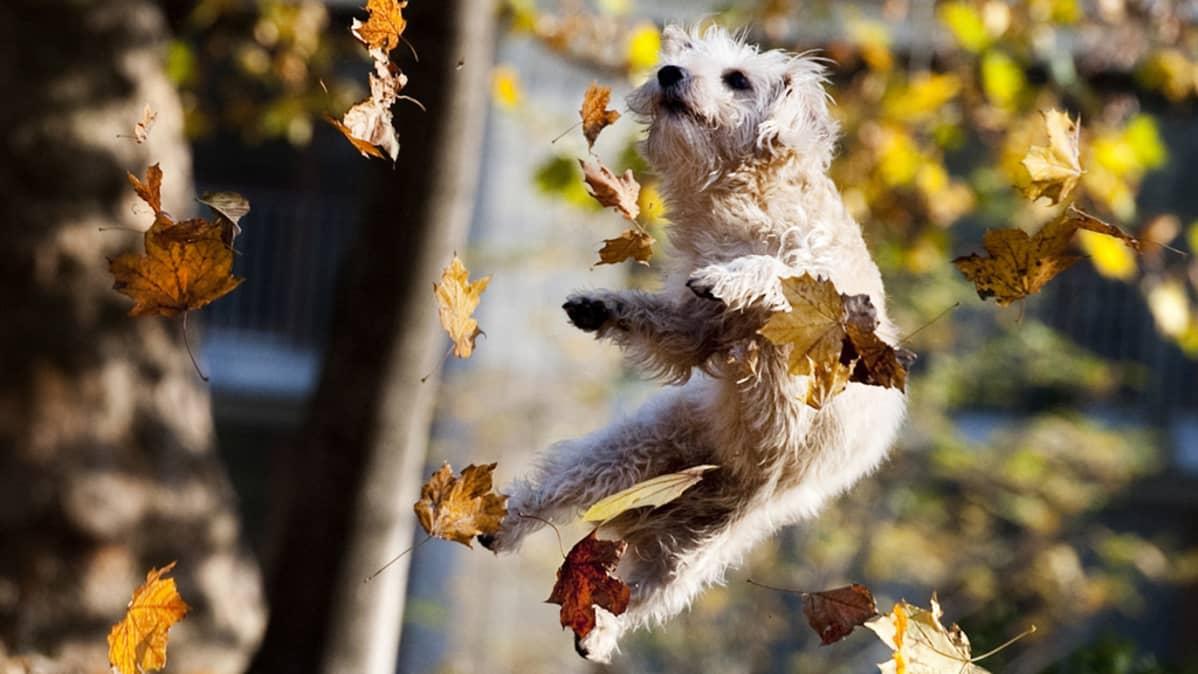 Koiran Vastuuvakuutus