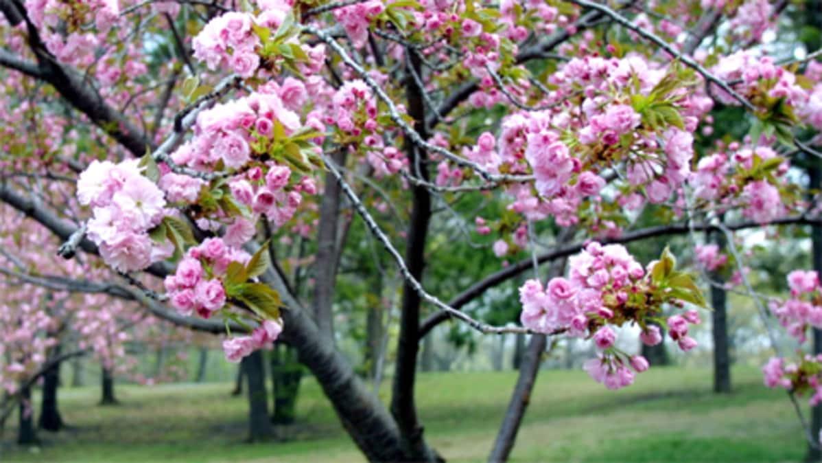 Kirsikkapuu Istutus