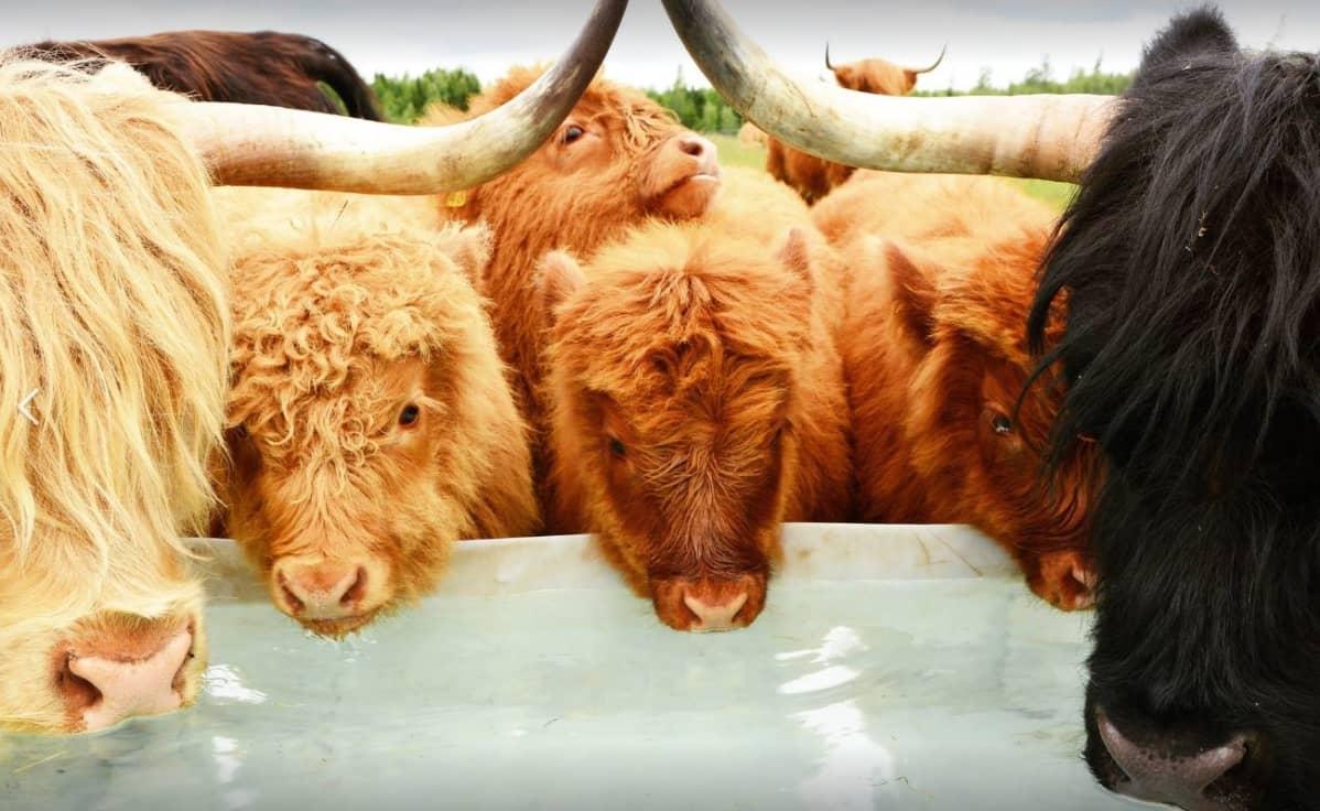 Lehmän Lisääntyminen