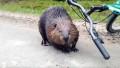 Video: Vihainen majava hyökkäsi pyöräilijän kimppuun