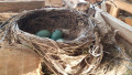 Видео: Seuraa suorana mustarastaan pesintää halkopinossa – katso kuinka emo hautoo ja poikaset kuoriutuvat
