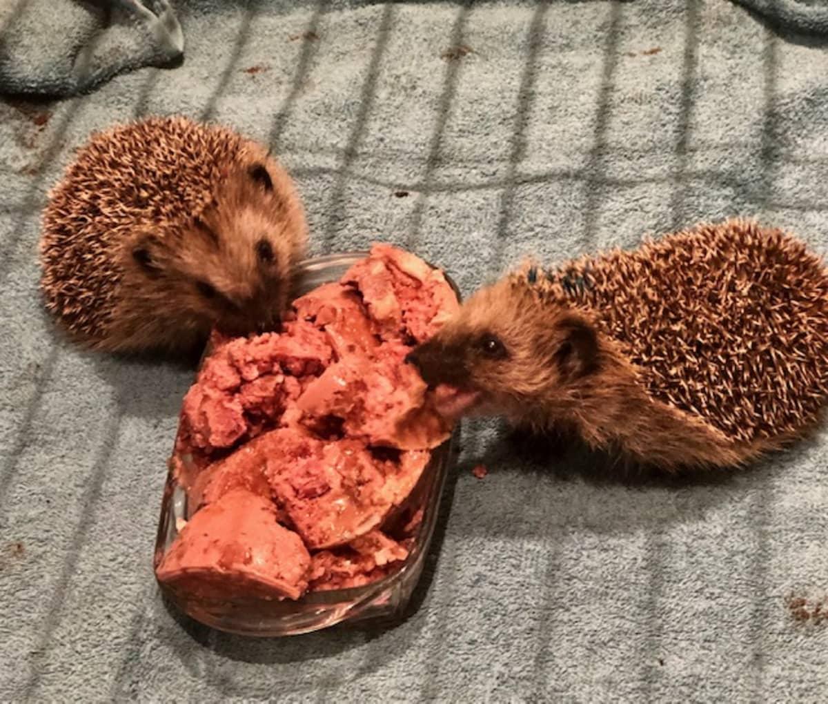 Orpoina pelastetut siilinpoikaset painoivat löytöeläinkotiin saapuessaan vain 70 grammaa. Nyt suursyömärit ovat 300g painoisia.