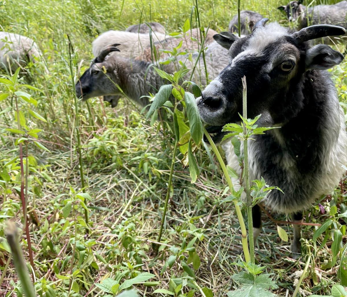 Musta lammas syö korkena kasvin lehteä.