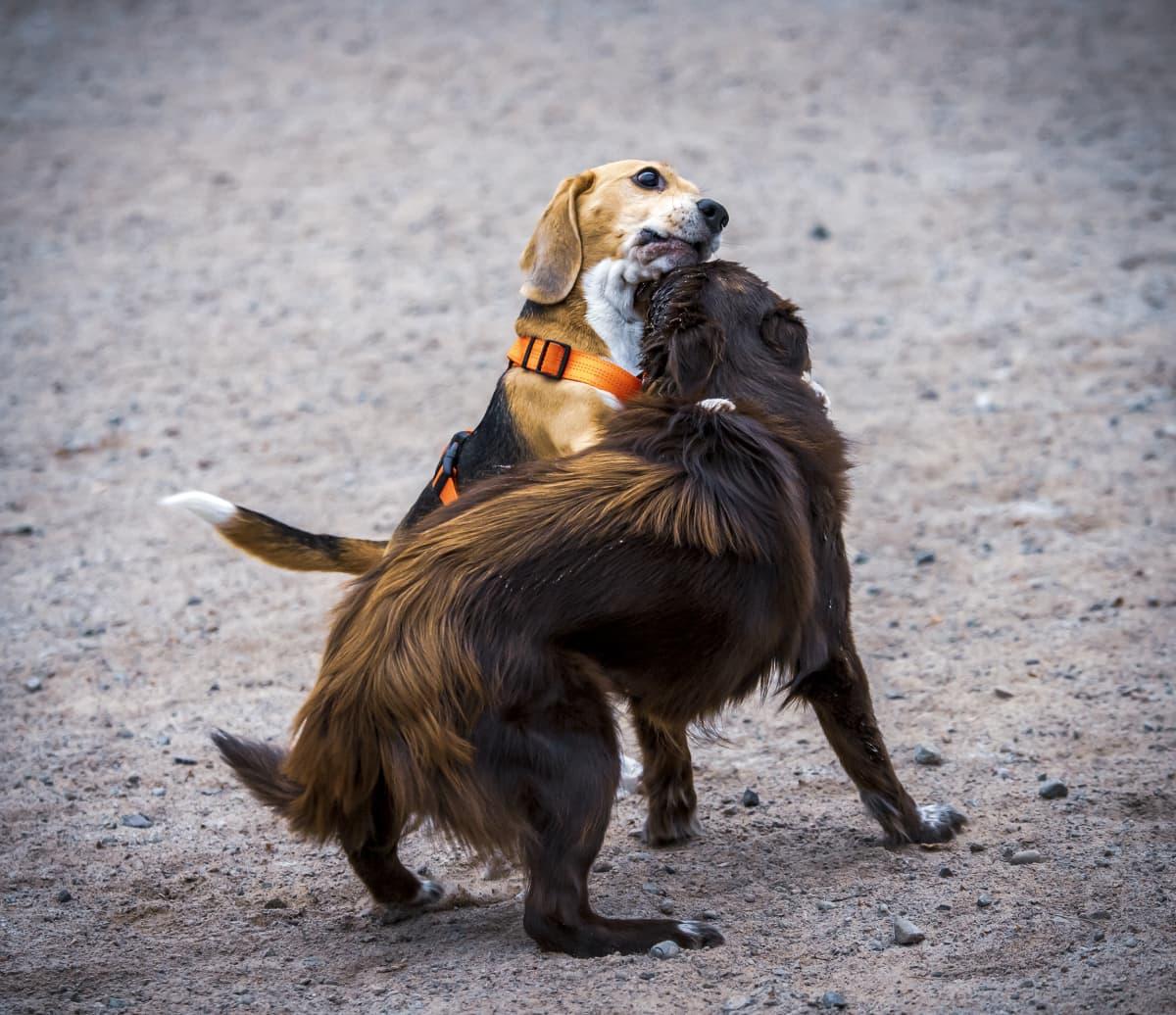 Kaksi koiraa leikkii koirapuistossa.