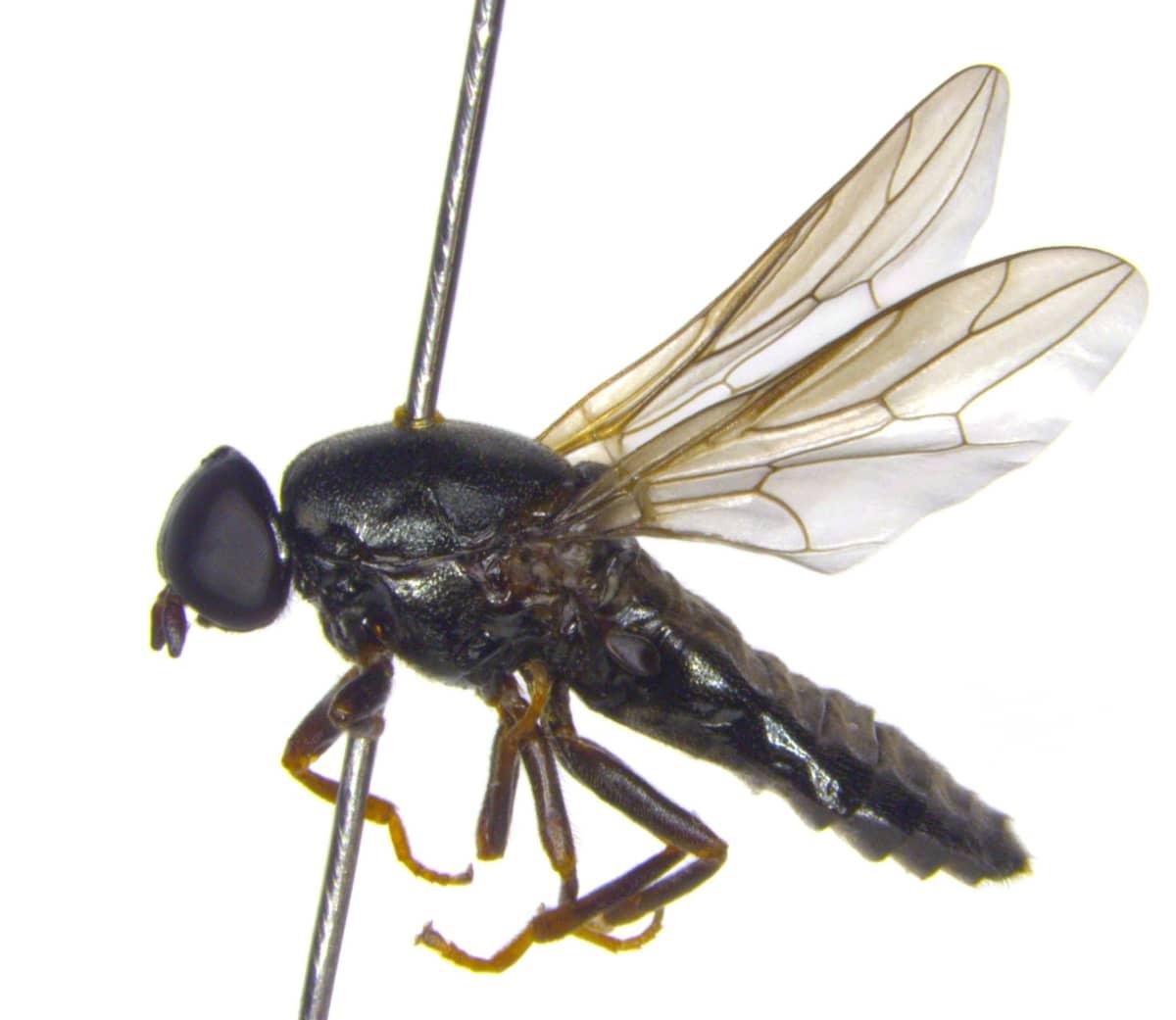 Tieteelle uusi metsäikkunakärpänen (Scenopinus jerei).