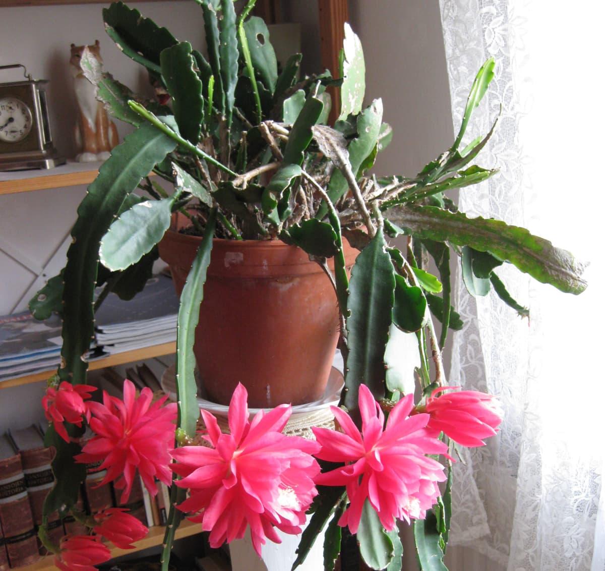 Hovipojankaktus punaisine kukkineen