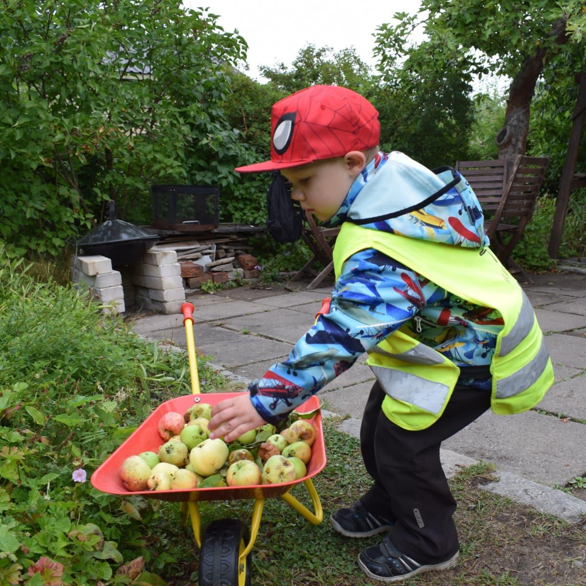 Lapsi laittaa omenoita pieneen kottikärryyn.