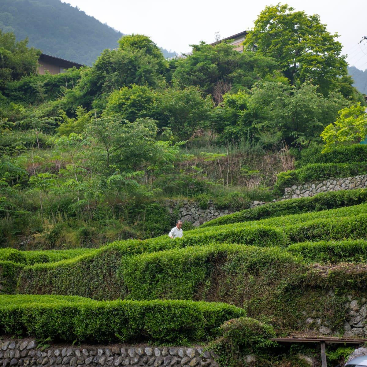 Teetä viljellään kaikkialla Shizuokassa