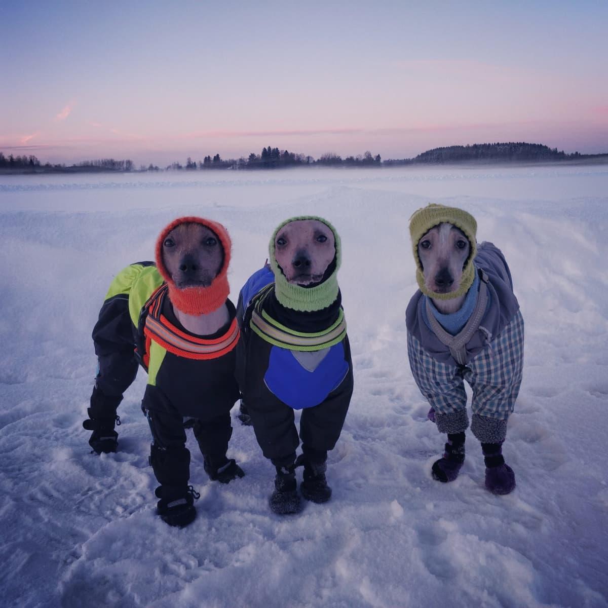 Koiria jäällä