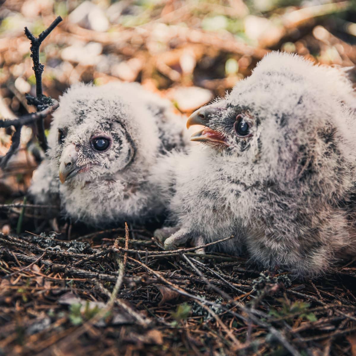 Kaksi viirupöllön poikasta