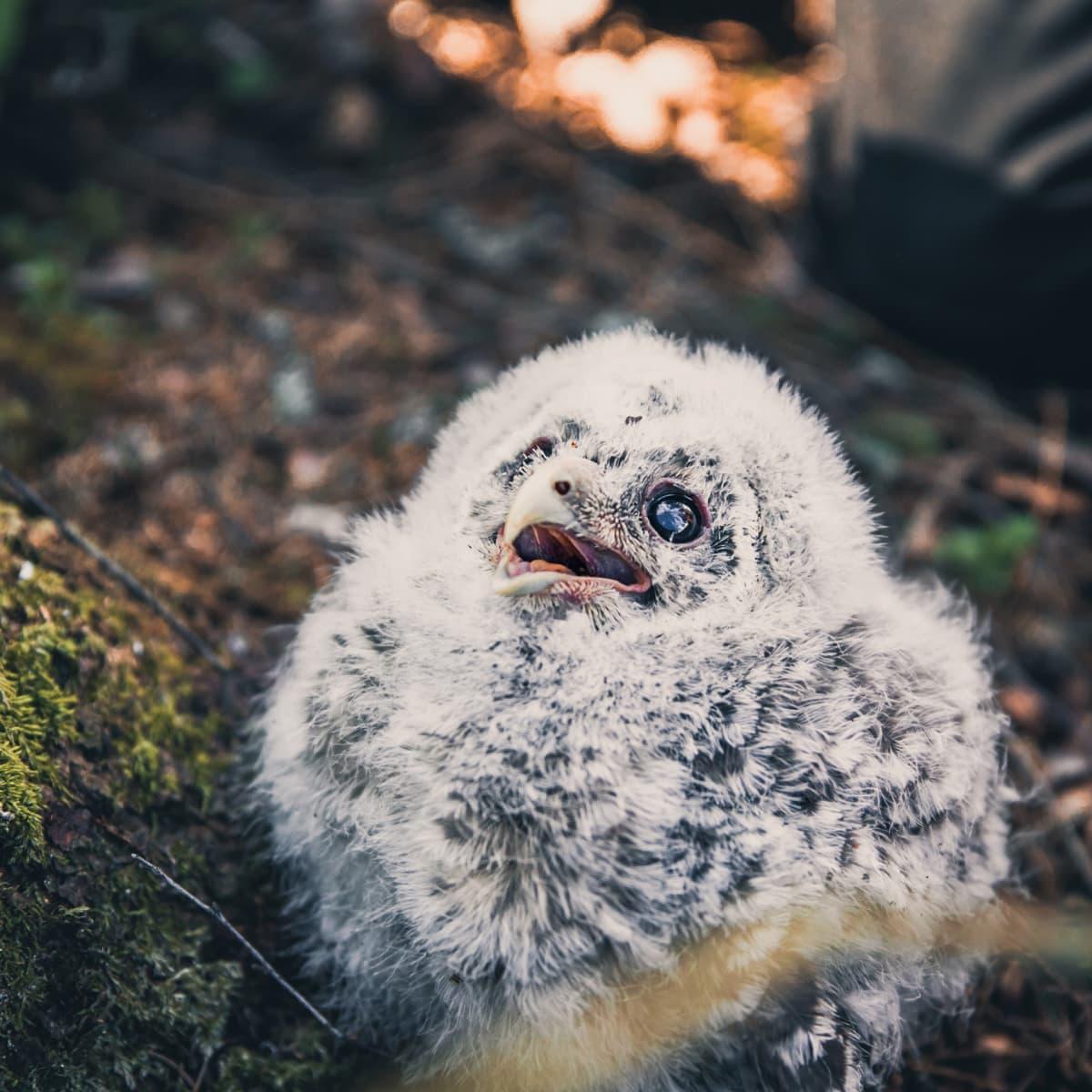 Viirupöllön poikanen maassa