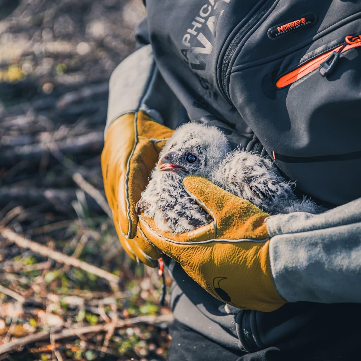 Viirupöllö rengastajan käsissä