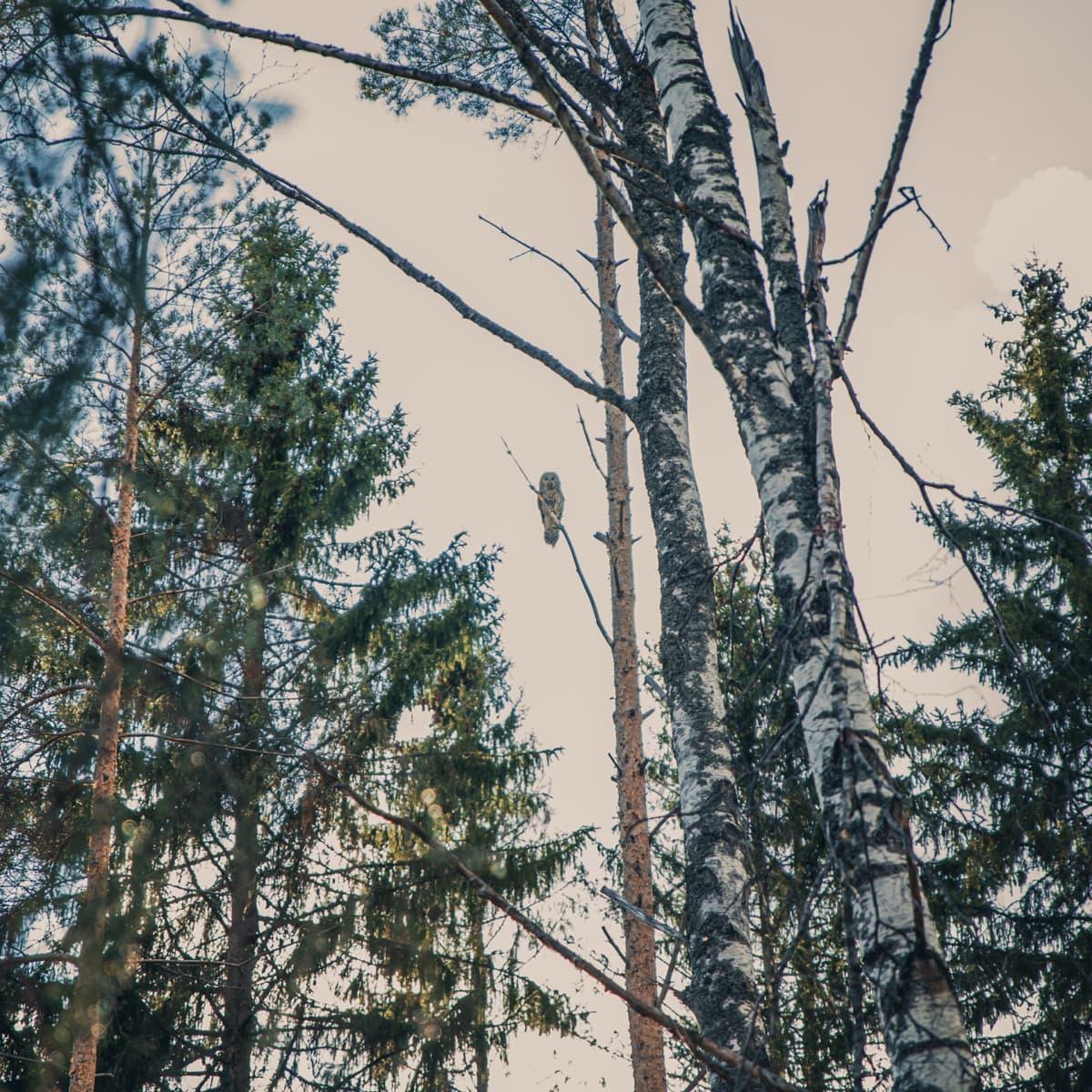Viirupöllö puunoksalla