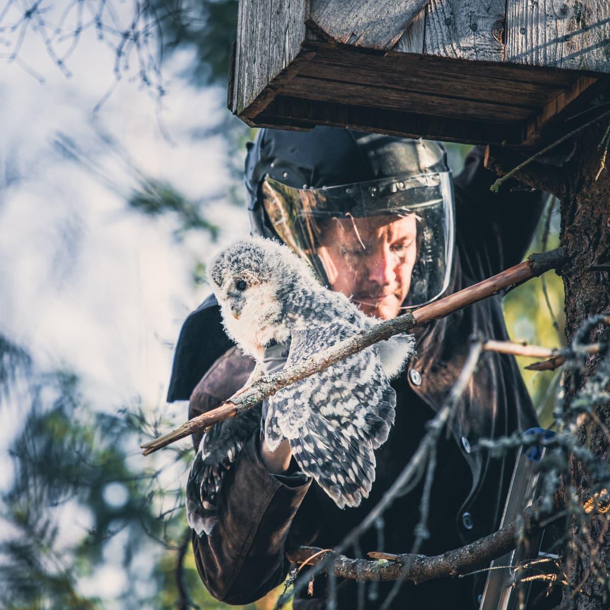 Rengastaja ottaa viirupöllön poikasen pöntöstä