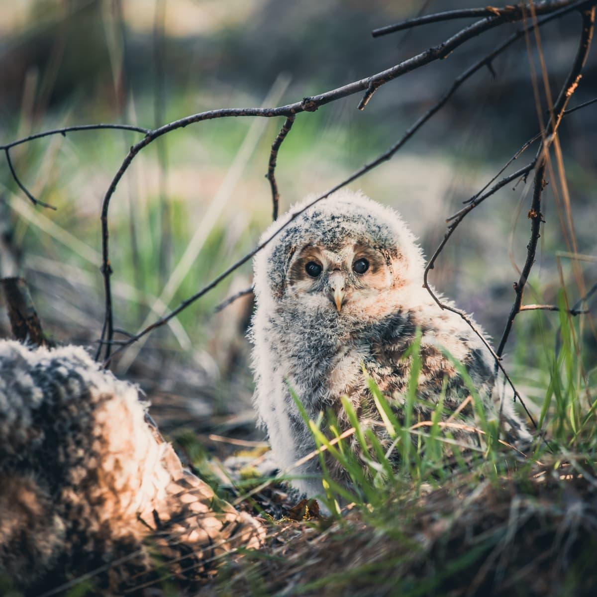 Viirupöllön poikanen katsoo kameraan