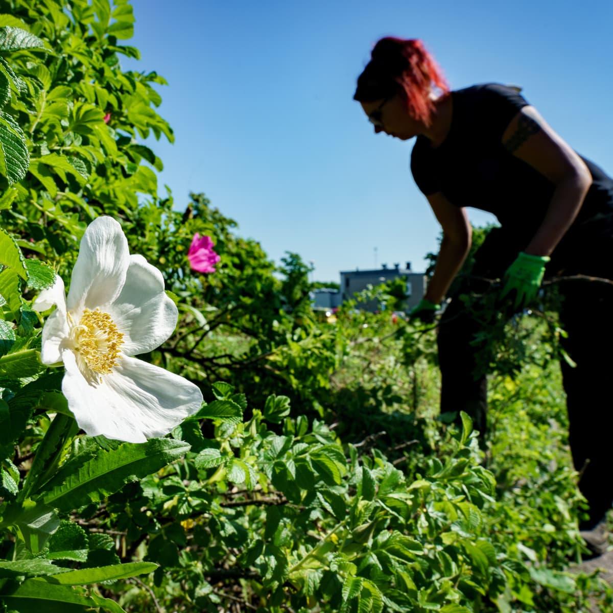 Etualalla valkokukkainen kurtturuusu eli Alba, taustalla ruusuja kitkevä nainen.