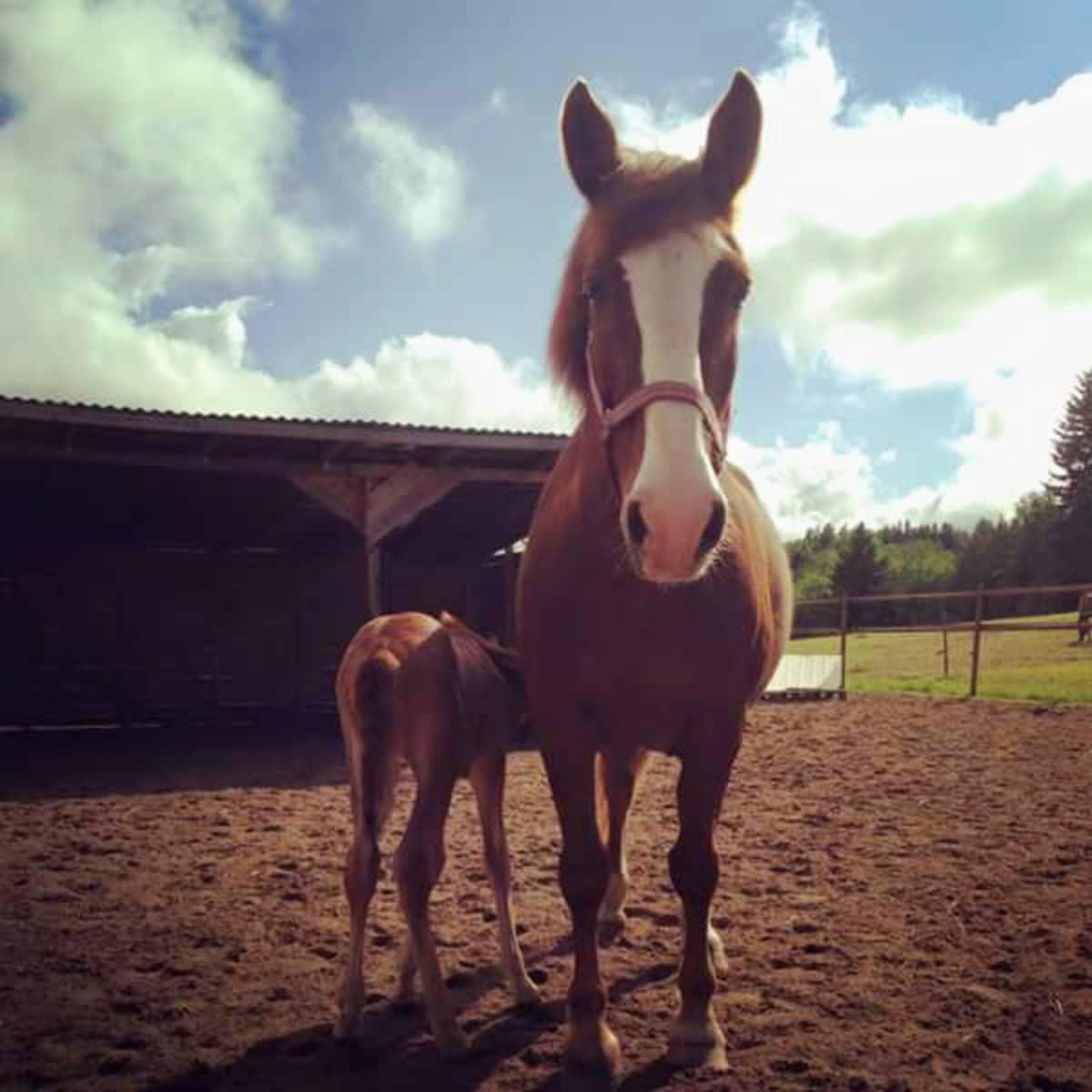 Eeva-hevonen ja maitoa imevä Irmeli-varsa.