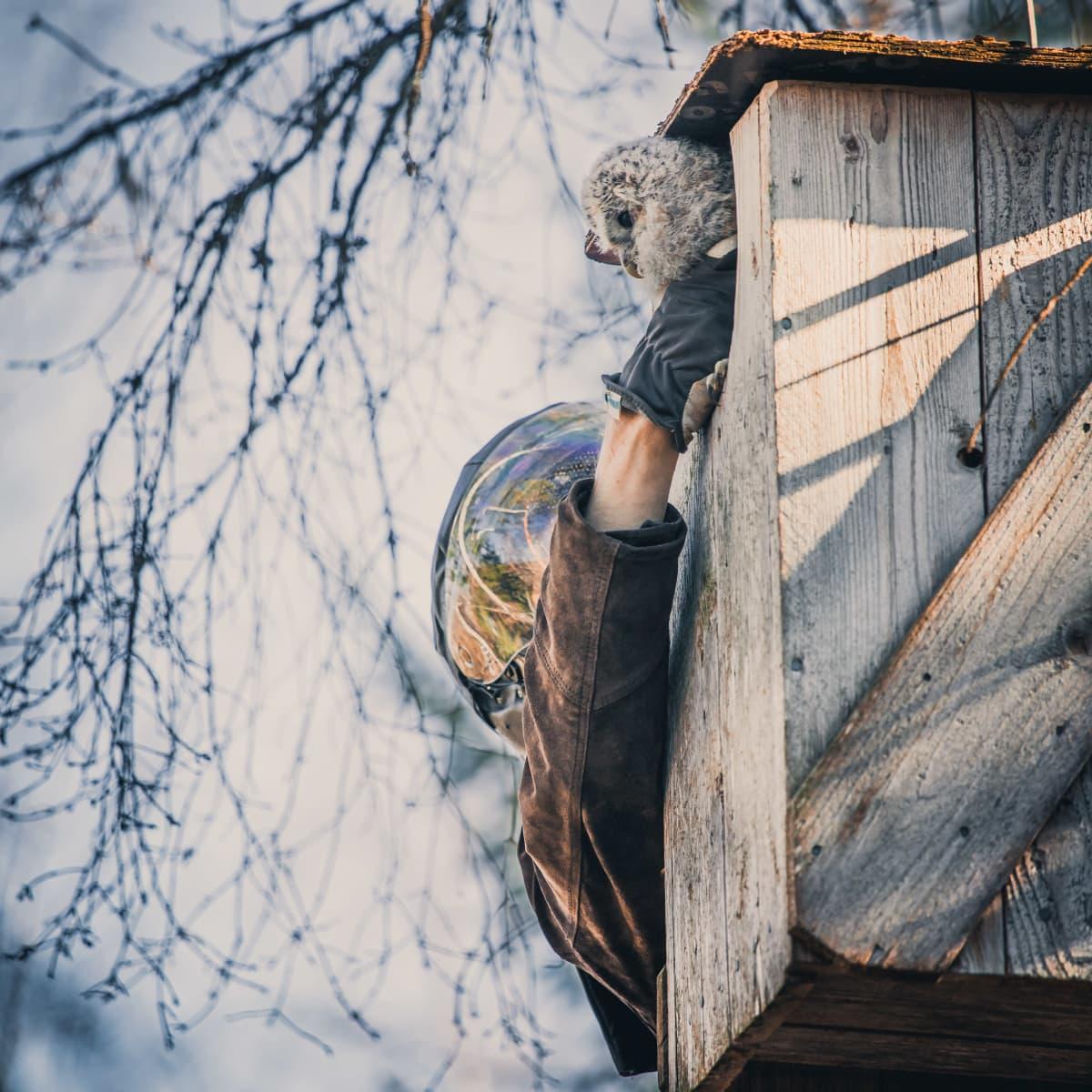 Mies ottaa pöllön pöntöstä rengastamista varten
