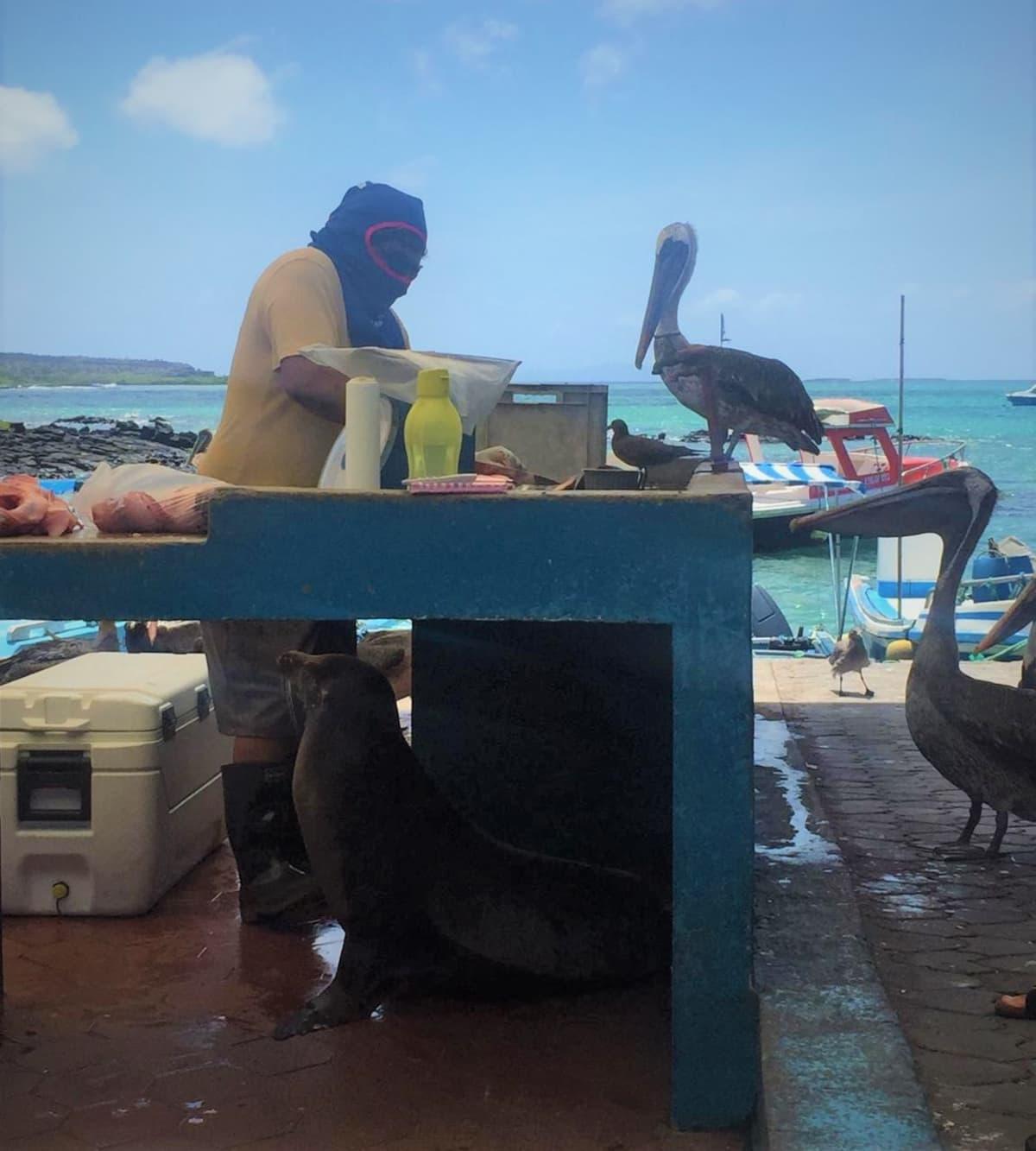 Kalastaja ja hänen eläinystävänsä Galapagossaariin kuuluvalla Santa Cruzin saarella.