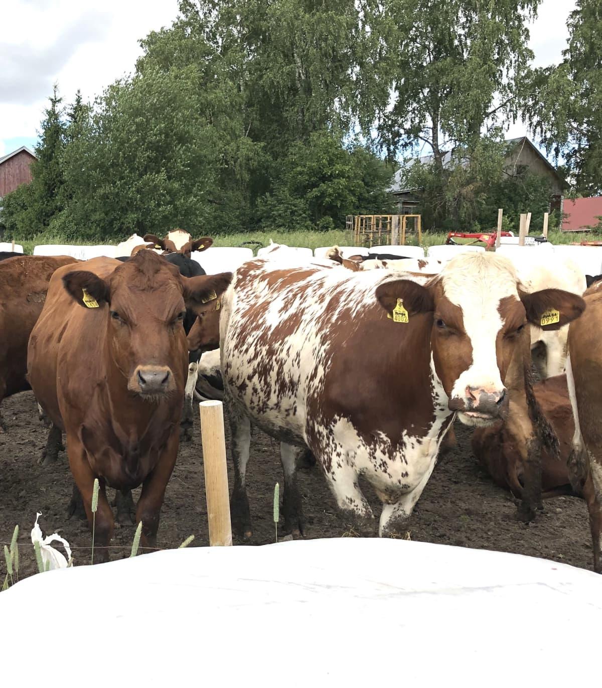 Kaksi lehmää katsoo kameraan.