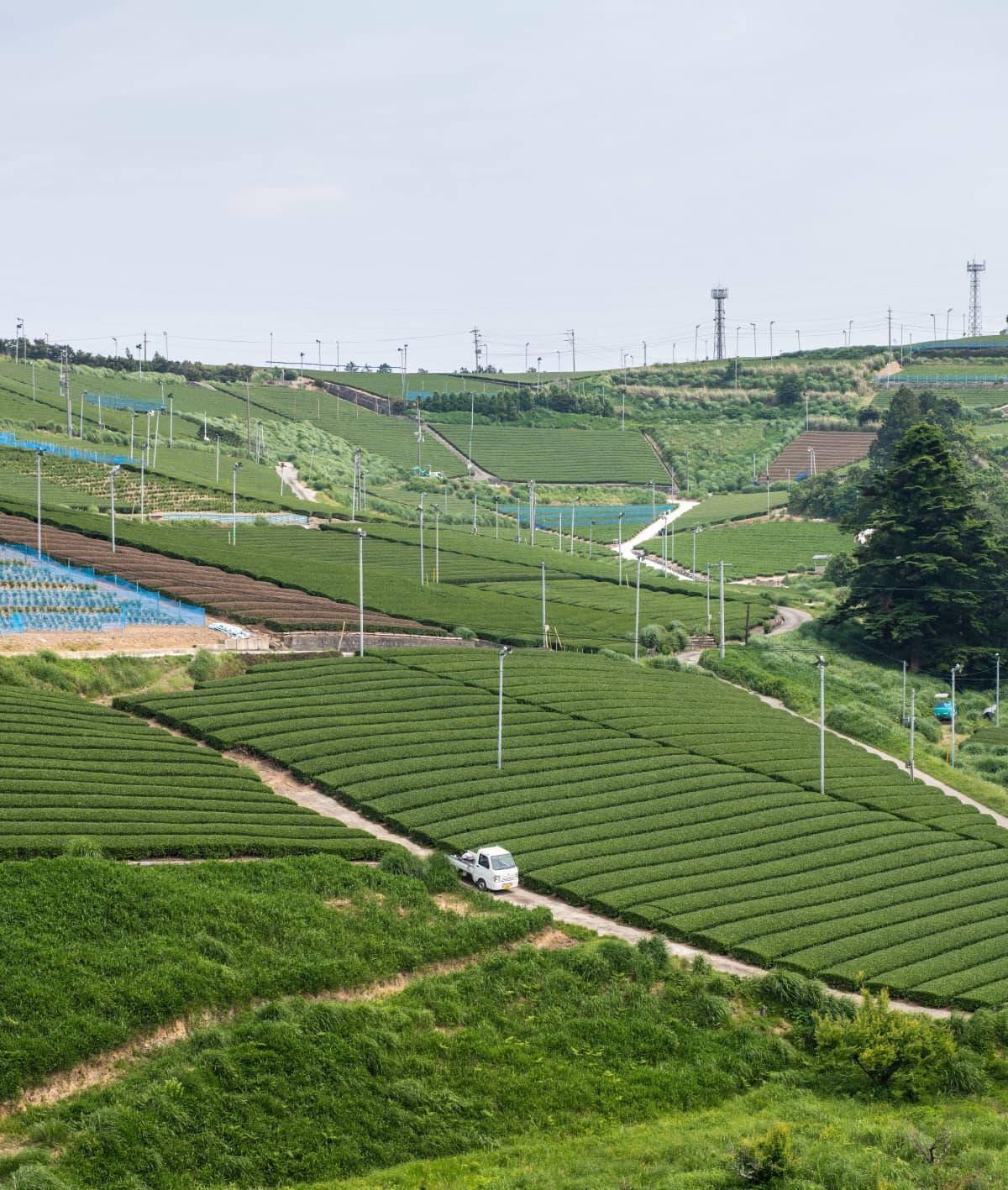 Teetä viljellään kaikkialla Shizuokassa.