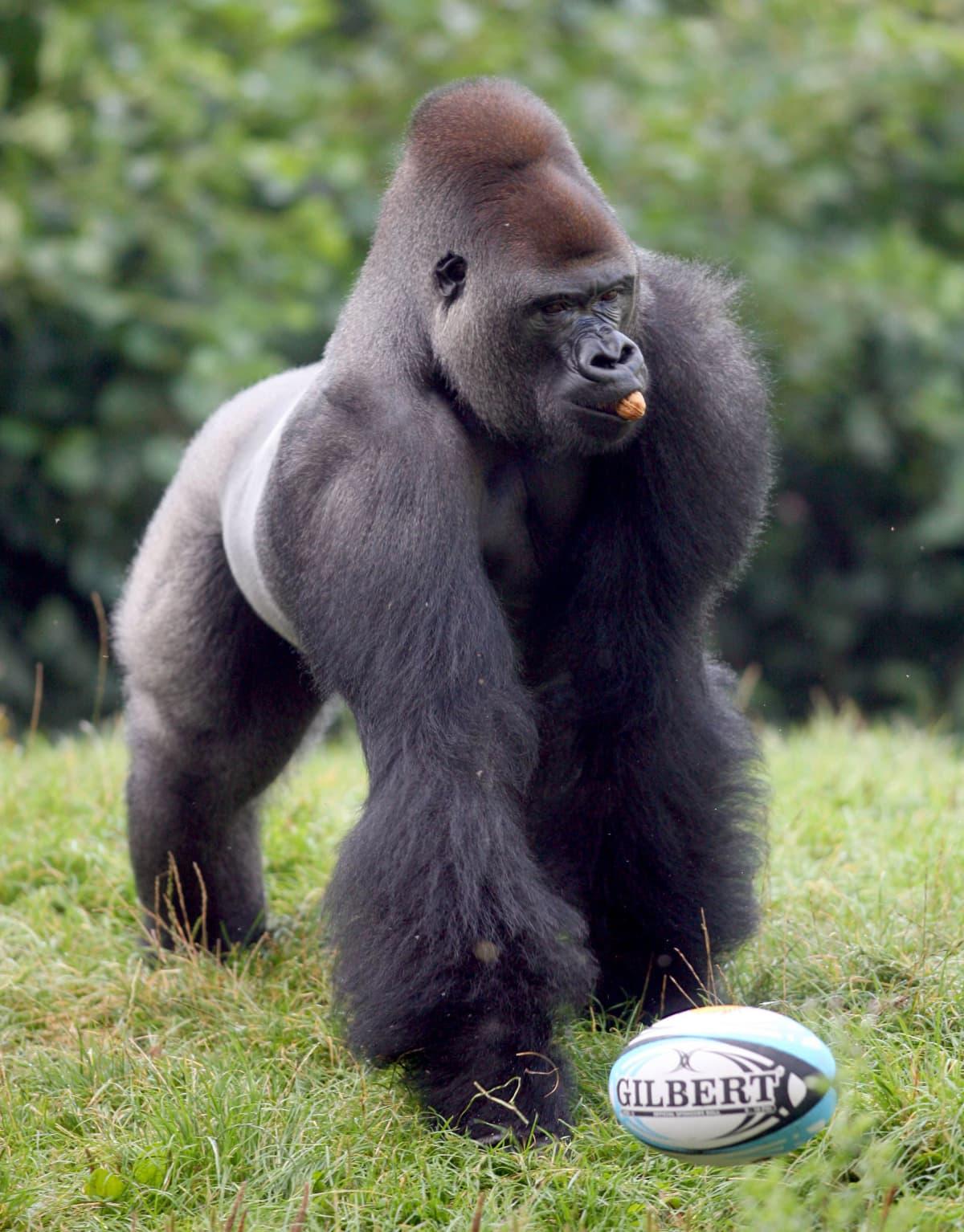 gorilla leikkii pallon kanssa eläintarhassa