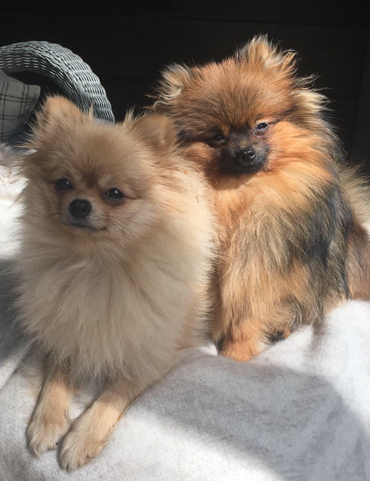 Pomeranian, koira