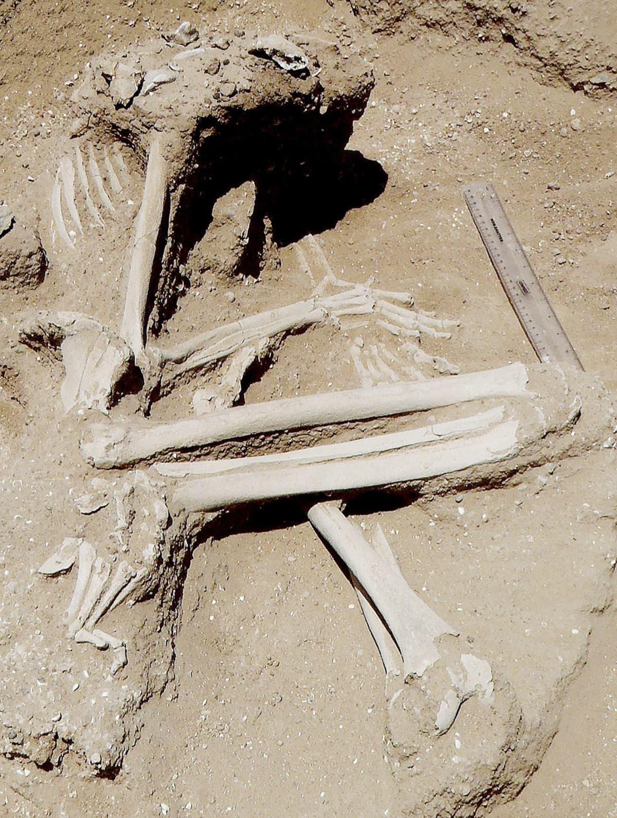 Kenian Turkanajärven läheisyydessä sijaitsevalta kaivaukselta löytyneitä luita.
