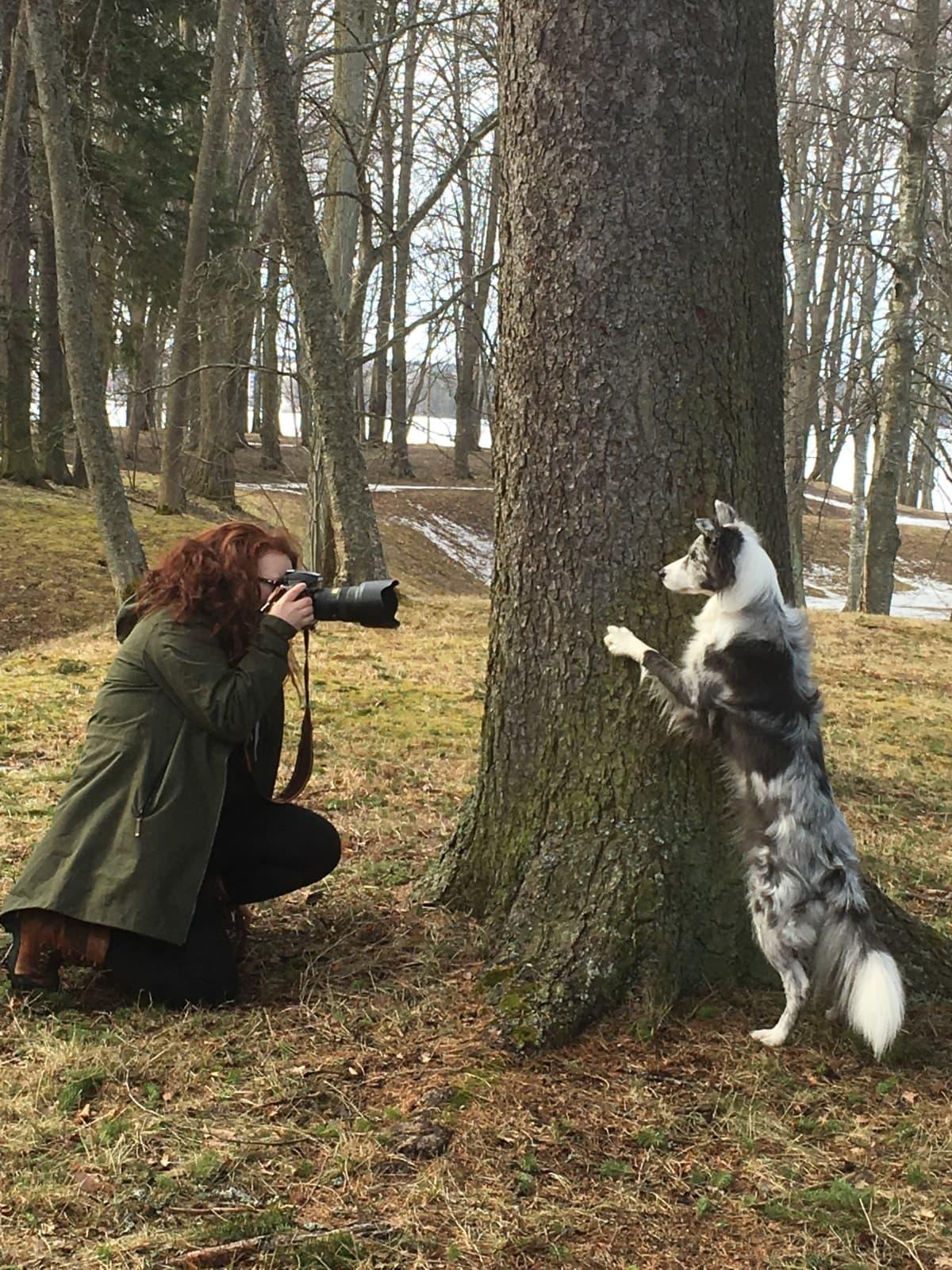 Valokuvaaja ottaa valokuvaa puuhun nojaavasta bordercolliesta.